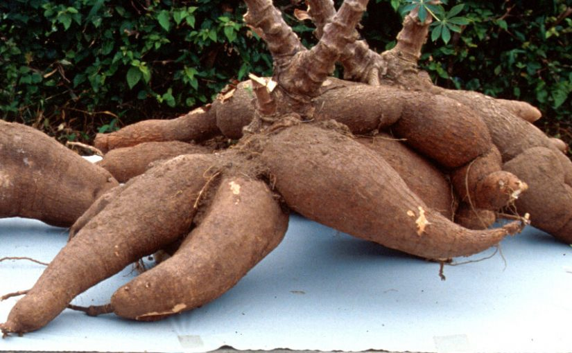 Picture of cassava tubers