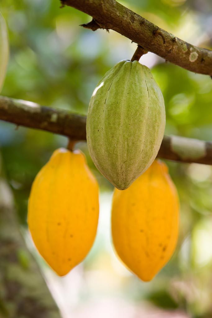 Picture of healthy cocoa pods