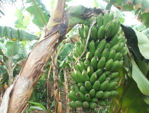Picture of NARO hybrid banana