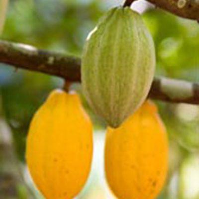 cocoa-iitacrops1
