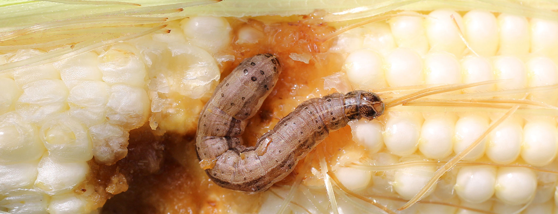 Fall Armyworm Has Reached The Indian Subcontinent