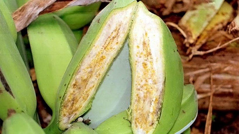 Scientists'-breakthrough-brings-hope-for-banana-resistance-breeding-to-deadly-bacterial-wilt-disease