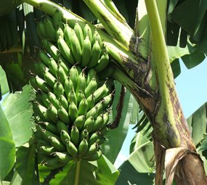 Scientists show which genetic loci is associated with bunch weight in highland banana