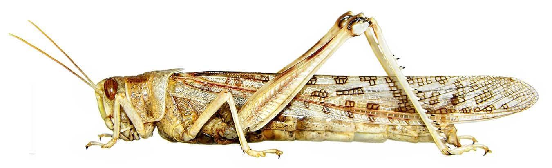 Spraying locusts is ineffective – IITA entomologist