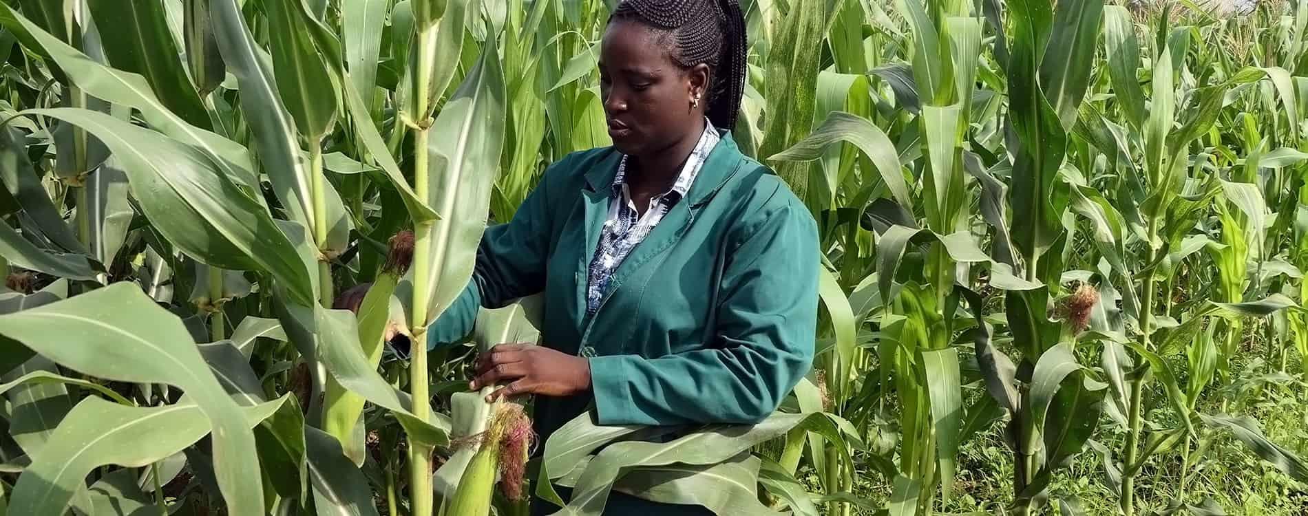 IITA-BIP sets record for maize production per hectare in Nigeria