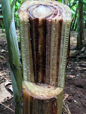 Banana plants' defense against deadly wilting disease may be in the soil