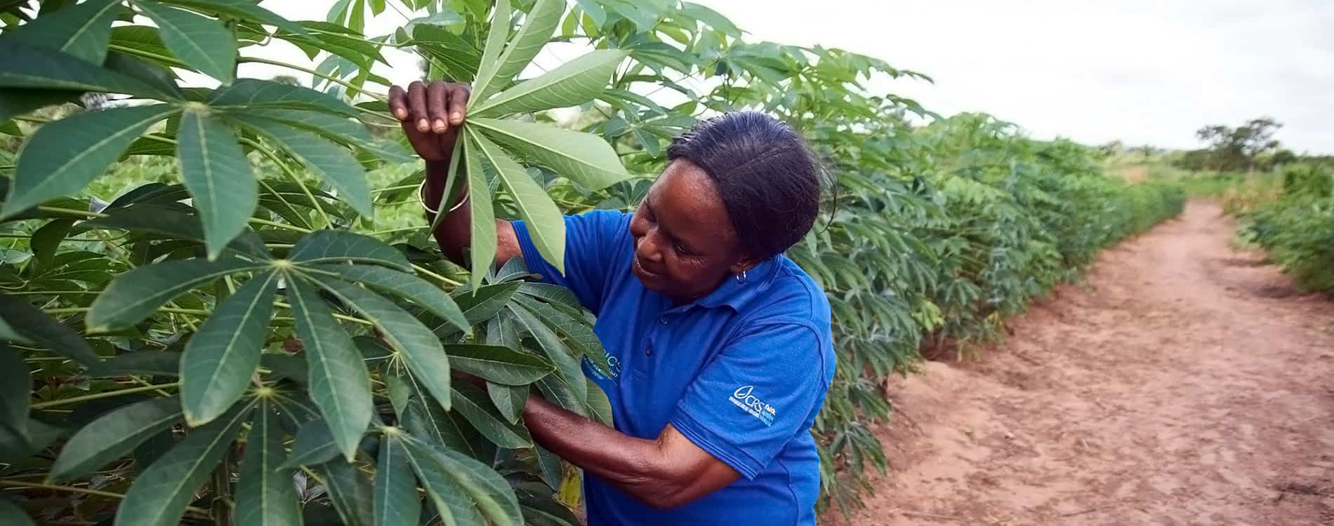 Project to build sustainable cassava seed system in Africa gets new phase