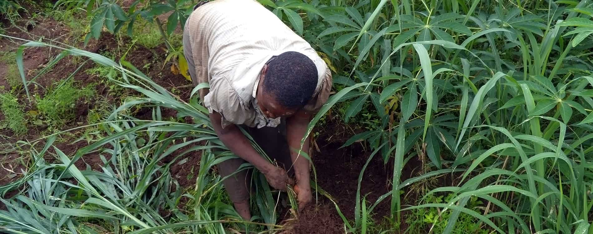 Manual weeding is labour intensive and cumbersome which causes farmers to delay weeding their cassava fields. Weeds account for over 30% in yeild loss
