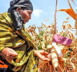 A female farmer taking part in a participatory variety evaluation as part the Africa RISING project