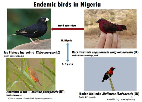 IITA contributes to conserving Nigeria's rarest endemic bird: Ibadan Malimbe
